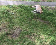 Лежит дохлая собака