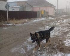 Бродячие собаки бегают по ул.Бесагаш